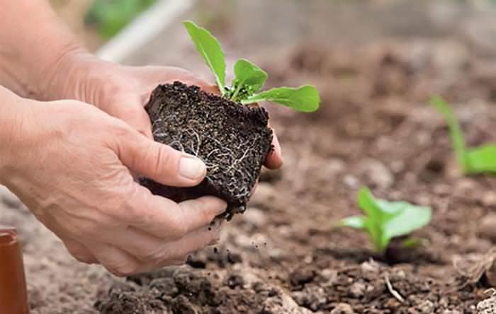 Китайская капуста тяжело переносит пересадку, поэтому следует выращивать рассадный материал в отдельных таблетках или торфяных горшочках