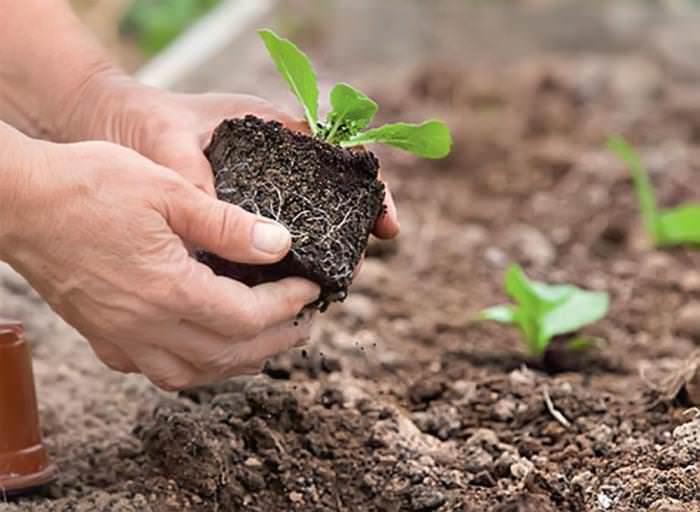 Полноценный уход за растением и выращивание брюссельской капусты начинаются с грамотной высадки