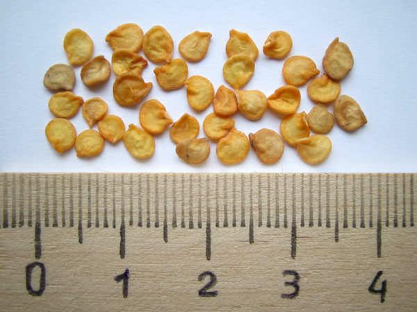 Поскольку семена перца достаточно плохо сохраняют свою всхожесть, их не следует покупать про запас