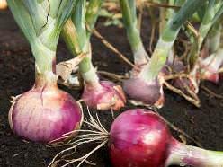 Выращивание лука в теплице может вестись круглогодично