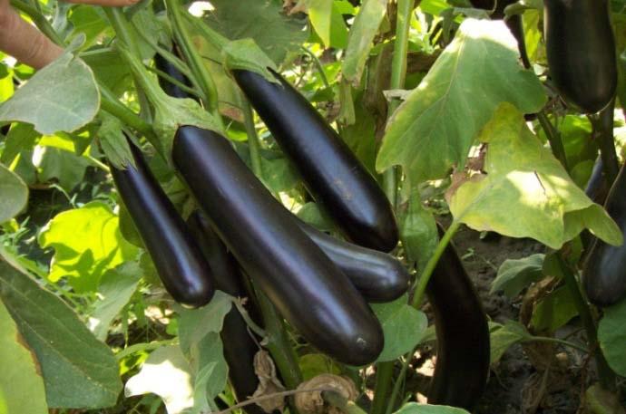 Сорт «F1-Фиолетовое чудо» является очень ранним гибридом, обладающим средними по величине плодами