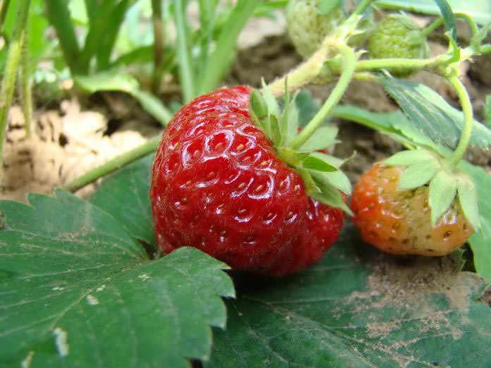 Садовая клубника любима многими за вкусовые качества и внешний вид ягод