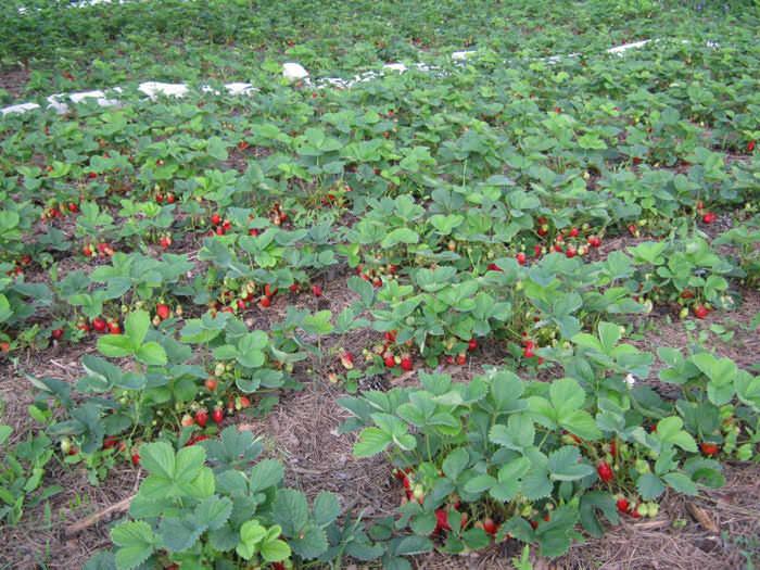 Выращивание клубники в открытом грунте – самый традиционный способ, самая привычная и доступная технология