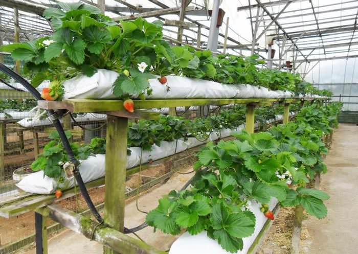Выращивание клубники по голландской технологии представляет собой довольно прибыльный бизнес