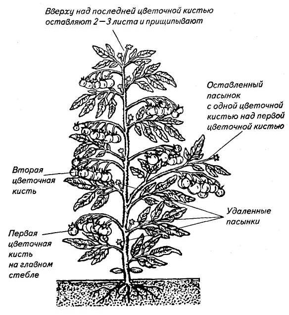 Правильное и своевременное формирование помидорных кустов напрямую зависит от выращиваемого сорта и наличия защищённого или открытого грунта