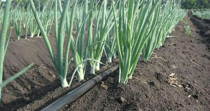 Все сорта лука требуют полива. При помощи влаги к растению попадают питательные вещества. Оптимальный вариант – производить полив 2 раза за 7 дней