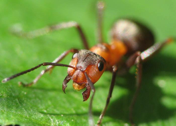 В теплицах наиболее часто встречаются следующие три вида муравьев: рыжие лесные,черные садовые и бурые луговые муравьи