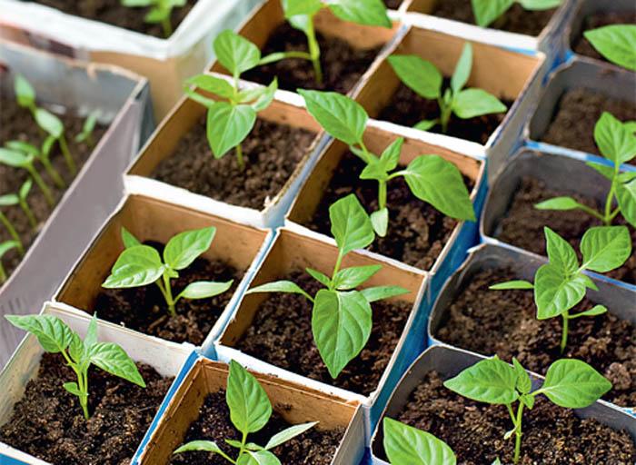 Главным залогом в получении хорошего урожая перца, является, конечно же, качество самой рассады и ее возраст