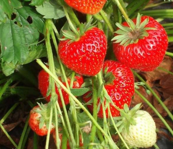Для того чтобы правильно вырастить рассаду клубники из семян, важно следовать определенным правилам