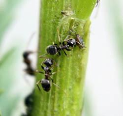 Колония муравьев способна сильно повредить корневую систему растений, приводя их к гибели