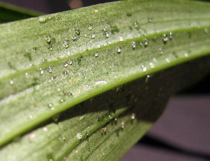 Часто из-за стресса - резких перепадов дневной и ночной температуры, либо при полном совпадении её, на листьях орхидеи появляются сахаристые капли влаги