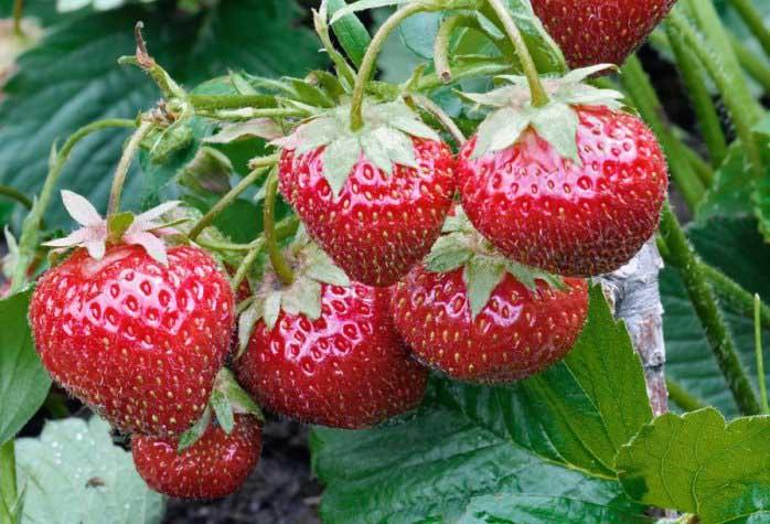 Ремонтантный вид «Брайтон» дает хороший урожай и подходит для культивирования в теплицах