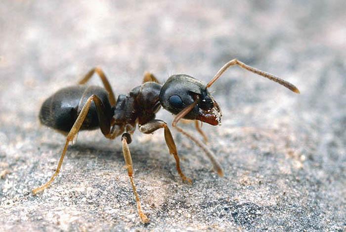 Особенность тепличных муравьев – отсутствие характерной земляной кучки