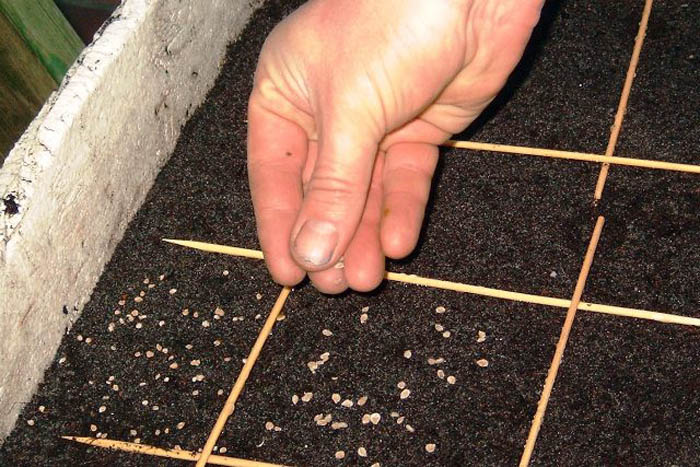 Посадка помидоров семенами производится не сразу в грунт на постоянное место, а в разнообразные емкости для получения рассады