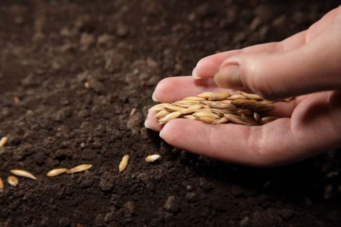 Семена огурцов трёхлетнего срока хранения обладают прекрасной всхожестью