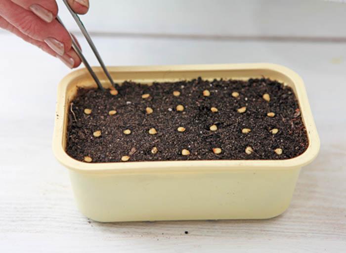 Посев семян перца – начало самого ответственного периода, завершающегося появлением всходов