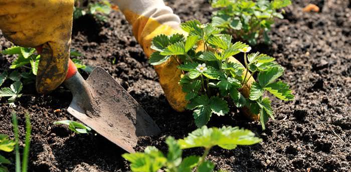 Клубника выращивается из семян в два этапа. Правильно сначала сажать семена на рассаду, а после перемещать растение на постоянное место