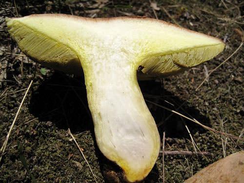Пригодный к использованию гриб должен обладать шляпкой, мякоть которой на разломе имеет зелёный цвет