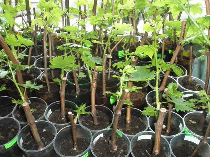 Вот так выглядят посаженные черенки после их укоренения и посадки их в пластиковые стаканы в подготовленную почву