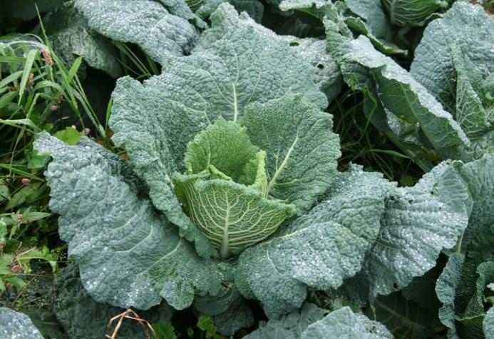 Во время формирования кочана необходимо проводить подкормки капусты специальными удобрениями