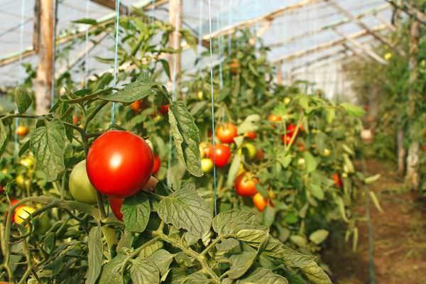 Краснеют помидоры после внедрения шпильки быстрее на целую неделю