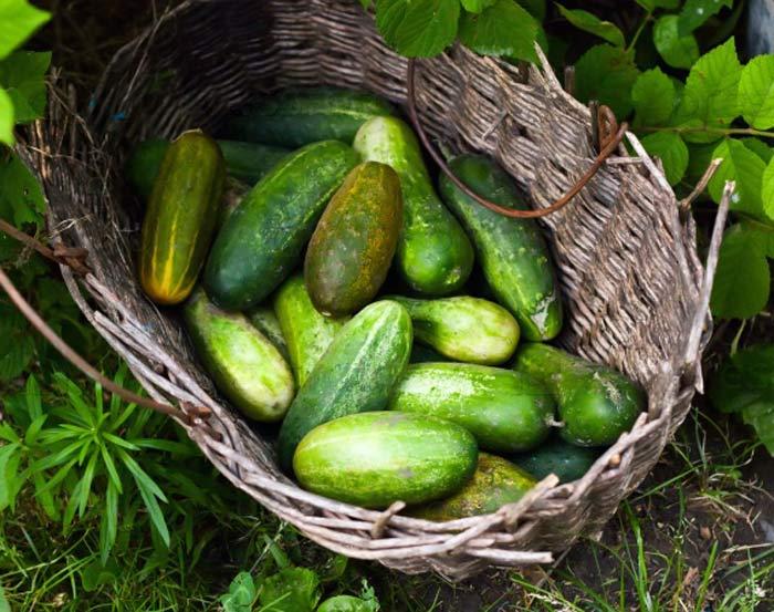 Не следует забывать о том, что собирать созревшие плоды необходимо 2 раза в 7 дней. Так вы увеличите плодообразование