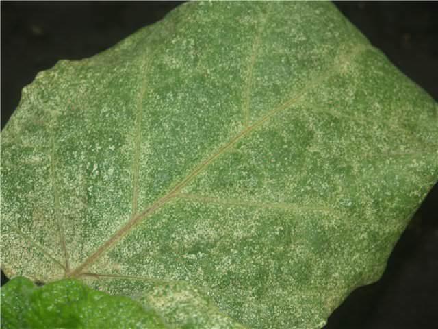 Определить наличие заражения в теплице достаточно просто: на листьях растений появляются светлые точки около основной жилки листа