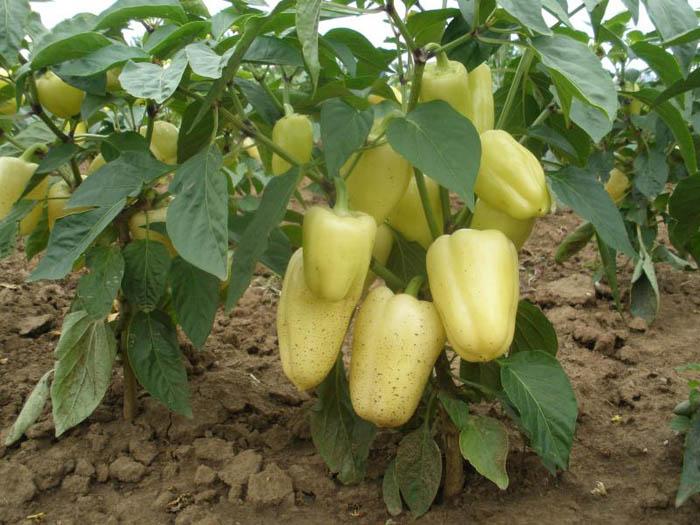 Болгарский перец приносит много пользы для поддержания здоровья. А все благодаря его составу, в который входят витамины С, Р, А, группа витаминов В и минералы