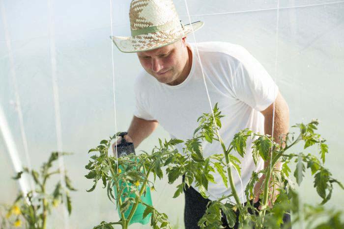 Ускорить налив помидор хорошо помогает подкормка йодом
