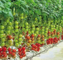 Тепличные помидоры очень популярны в нашей стране достаточно давно