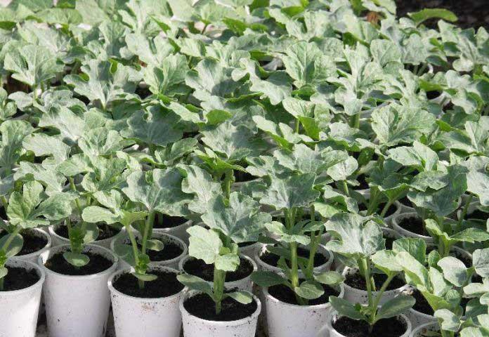 Арбузы в теплице могут быть высажены на постоянное место только после того, как установится тёплая погода
