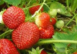 Клубника круглый год может давать вкусные и ароматные ягоды, если выращивать ее в теплице