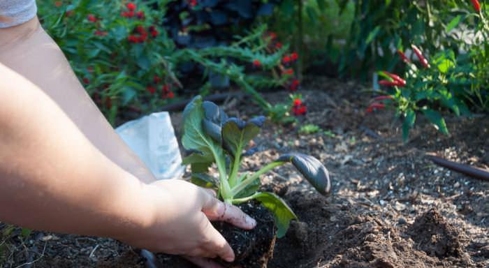 Образование на рассаде пятого листочка становится сигналом к высадке рассадного материала на постоянное место