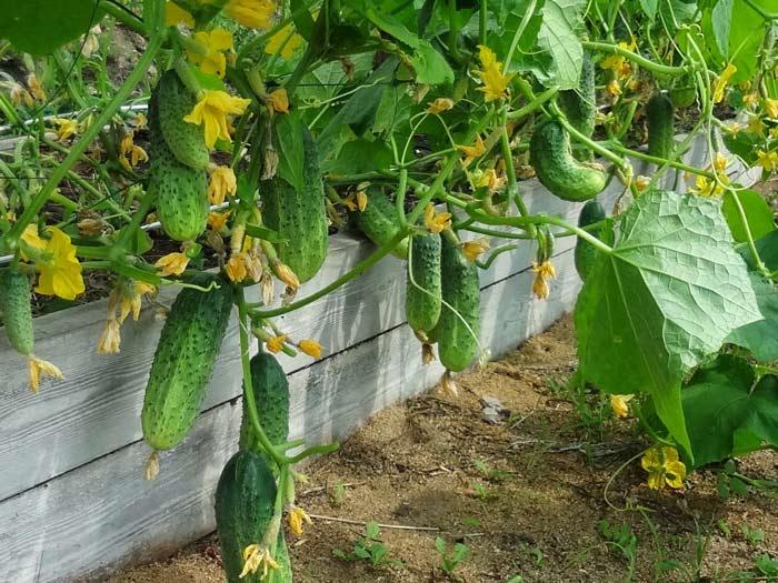 Огурец в теплице растет достаточно быстро: от начала посева до плодоношения проходит примерно 2 месяца. Хранятся огурцы хорошо, но требуют тщательного ухода и занимают много места