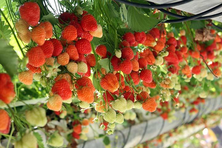 В строении экономится место, так как ягоды можно выращивать в несколько ярусов, применяя особые стеллажи