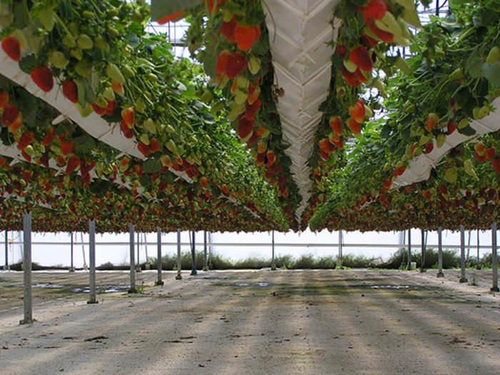 Данная технология предполагает беспочвенное выращивание клубники