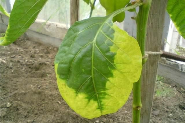 При длительном похолодании и снижении температуры ниже двенадцати градусов листья растений опадают по биологическим причинам