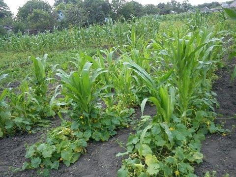 Соседство кукурузы и огурцов повышает урожайность на 20 процентов