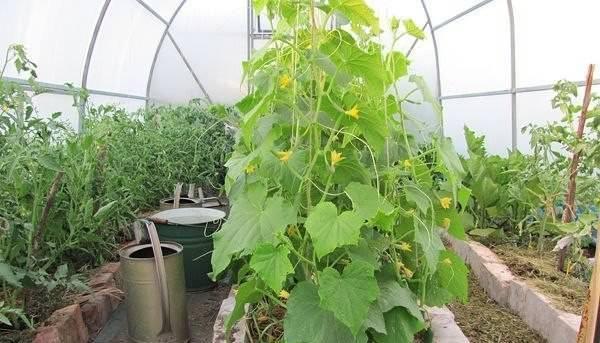 Летом вместе с огурцами выращивают томаты и другие теплолюбивые растения