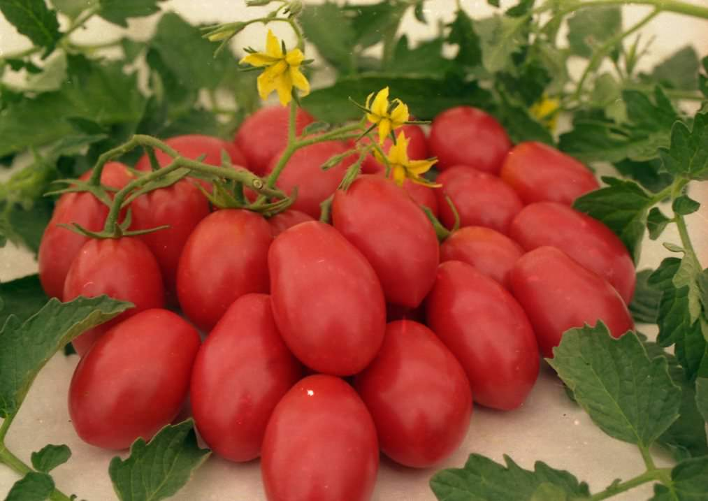 Кистевые томаты пользуются популярностью