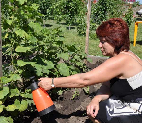 Чтобы огурец рос хорошо, его следует обрабатывать различными растворами