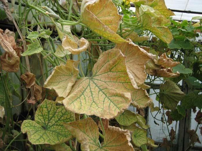 Чтобы у огурцов не желтели листья, можно попробовать одно проверенное народное средство – опрыскивать их молоком