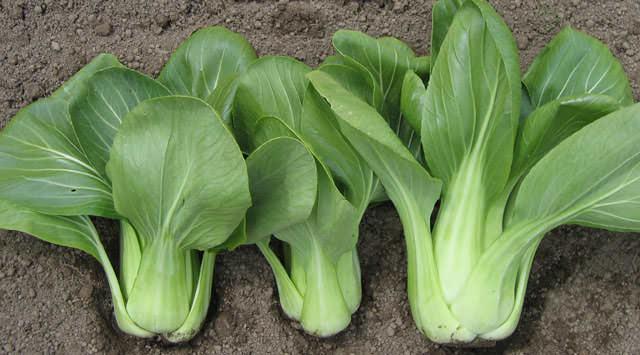 Прекрасные результаты выращивания показывает ранний сорт «Веснянка»