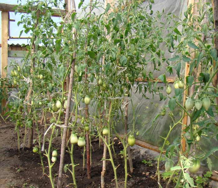 Несмотря на то что излишняя загущенность посадки сильно облиственными растениями оказывает негативное влияние на количество и качество урожая, удаление большого количества листьев нецелесообразно