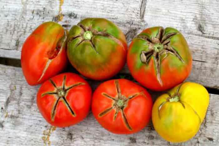 Существует несколько причин растрескивания томатов при культивировании в теплице