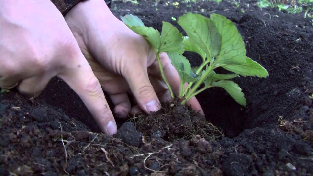Важно правильно посадить рассаду – сначала в гончарные горшки, потом в открытый грунт, подготовить почву – смешать дерновую и перегнойную землю в соотношении 2 к 1