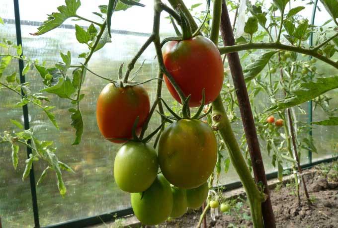 Сорт «Де Барао» неприхотлив и даже на обычном грунте дает с куста до 10 килограммов томатов
