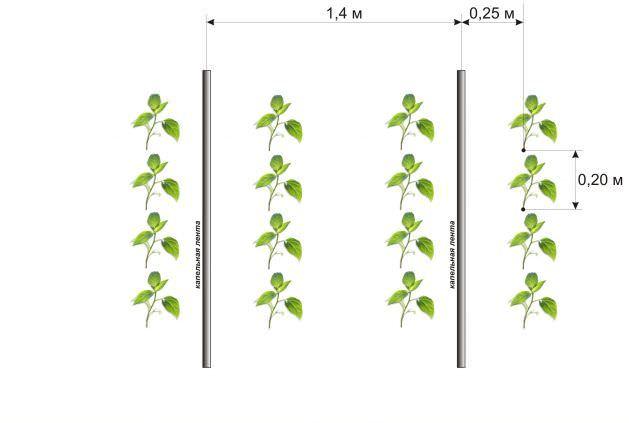 Схема посадки горького перца позволяет качественно выполнять рыхление почвы, а также регулярные прополки и полив овощной культуры