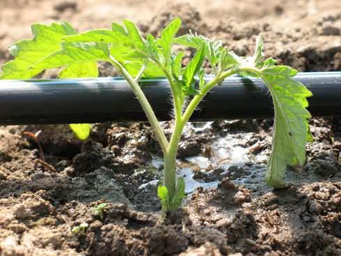 Так как влага идет прямо к корням растения, сорняки появляются редко, а культуры не болеют инфекционными заболеваниями