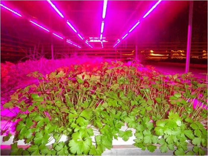 Процесс выращивания и обогрева тепличных растений предполагает наличие искусственного подсвечивания, которым дополняется естественное освещение
